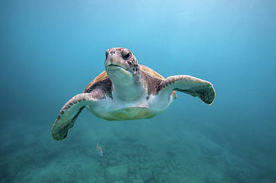 Photograph - Green Sea Turtle Off Canary Islands by James R.d. Scott