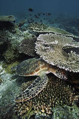 Green Sea Turtle Photograph - Green Sea Turtle On Coral Reef Sipadan by Hiroya Minakuchi