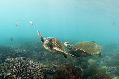 Green Sea Turtle Photograph - Green Sea Turtle Pair Galapagos Islands by Tui De Roy