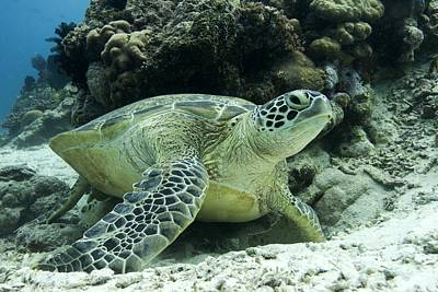 Green Sea Turtle Photograph - Green Sea Turtle by Science Photo Library