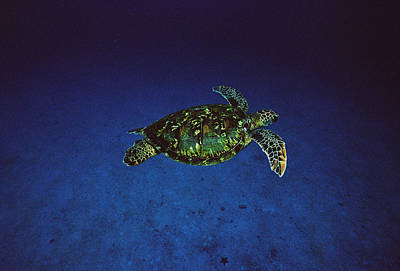 Green Sea Turtle Photograph - Green Sea Turtle Swimming Off Of Cocos by Flip Nicklin