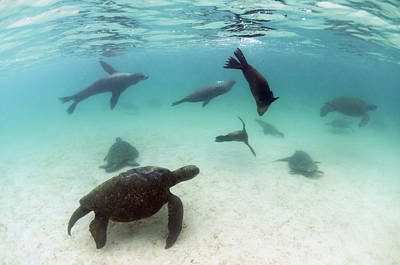Green Sea Turtle Photograph - Green Sea Turtles And Sealions Galapagos by Tui De Roy