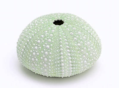 Photograph - Green Sea Urchin White by Jennie Marie Schell