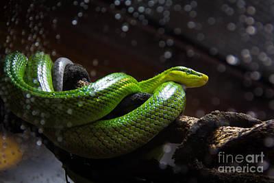 Burmese Python Digital Art - Green Snake Awake by Pavan  Kumar