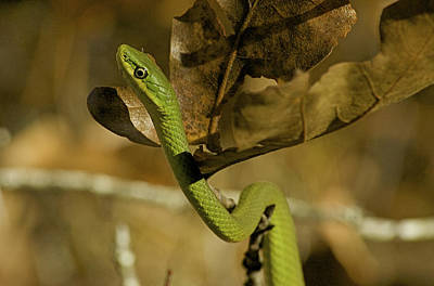 Photograph - Green Snake by Greg Vizzi