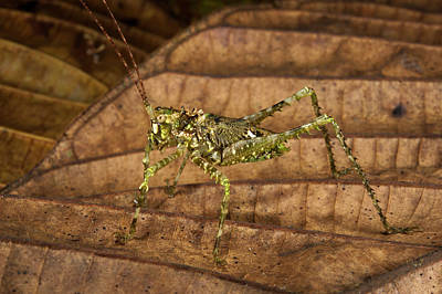 Katydid Photograph - Green Spiny Katydid (tettigoniidae by Pete Oxford