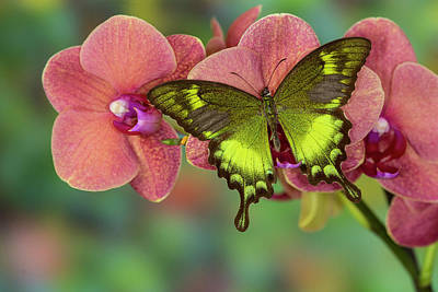 Lime Green Photograph - Green Swallowtail Butterfly Papilio by Darrell Gulin