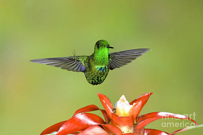 Ecuadorean Fauna Photograph - Green Thorntail Male by Anthony Mercieca