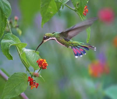 Trinidad And Tobago Wall Art - Photograph - Green-throated Mango Hummingbird by Tim Fitzharris