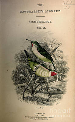 Folio Drawing - Green Tody by Celestial Images