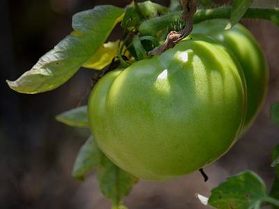 Photograph - Green Tomato 2 by Maria Urso