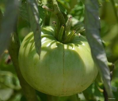 Photograph - Green Tomato by Maria Urso