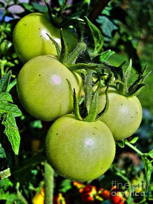 Photograph - Green Tomatoes On Vine by Nina Ficur Feenan