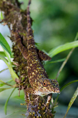 Photograph - Green Tree Anole by Richard J. Green