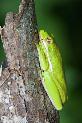 Tree Frog Photograph - Green Tree Frog (hyla Cinerea by Larry Ditto