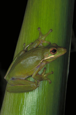 Photograph - Green Tree Frog Hyla Cinerea by Millard H. Sharp