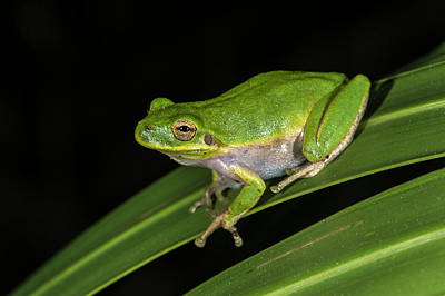 Frog Photograph - Green Tree Frog (hyla Cinerea by Pete Oxford