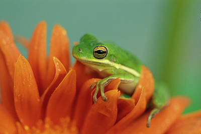 Frog Photograph - Green Tree Frog On Flower In Garden by Jaynes Gallery