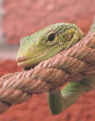 Photograph - Green Tree Monitor by Diane Alexander