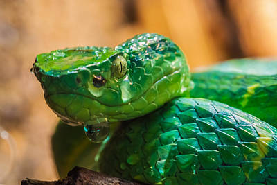 Green Tree Pit Viper Art Print by Craig Lapsley