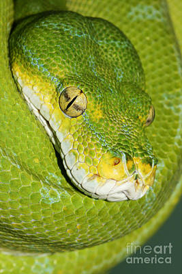 Art Print featuring the photograph Green Tree Python #2 by Judy Whitton