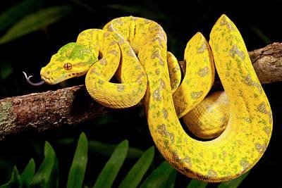 Burmese Python Photograph - Green Tree Python, Morelia by David Northcott
