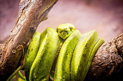Python Photograph - Green Tree Python by Pati Photography