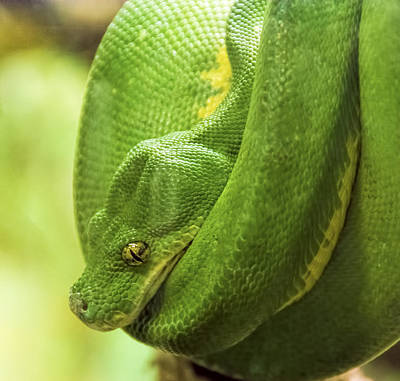 Photograph - Green Tree Python by Penny Lisowski