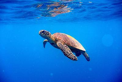 Green Turtle Approaching Water Surface Art Print by Searsie