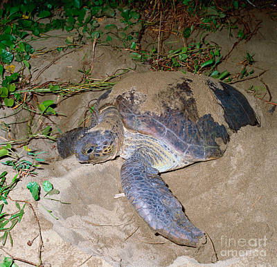Green Sea Turtle Photograph - Green Turtle Covering Eggs With Sand by Tierbild Okapia