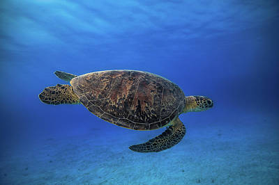 Green Turtle In The Blue Art Print by Barathieu Gabriel