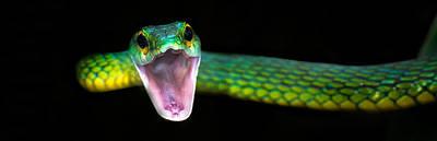 Animal Behavior Photograph - Green Vine Snake Oxybelis Fulgidus by Panoramic Images