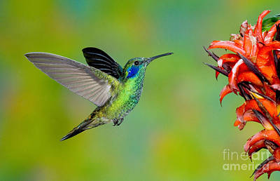 Photograph - Green Violet-ear Hummingbird by Anthony Mercieca