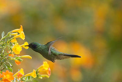 Photograph - Green Violet-ear Hummingbird by Tony Mills