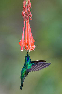 Stamen Photograph - Green Violetear Colibri Thalassinus by Panoramic Images