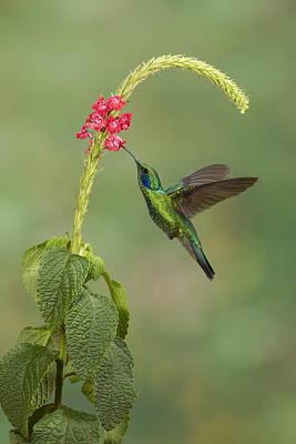 Green Violetear Hummingbird Colibri Thalassinus Feeding On Pink Porterweed In Costa Rica Art Print by Juan Carlos Vindas