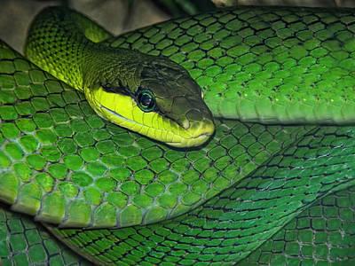 Poisonous Photograph - Green Viper by Joachim G Pinkawa