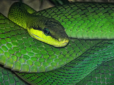 Reptiles Photos - Green Viper by Joachim G Pinkawa
