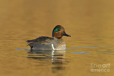 Green Wing Teal Art Print