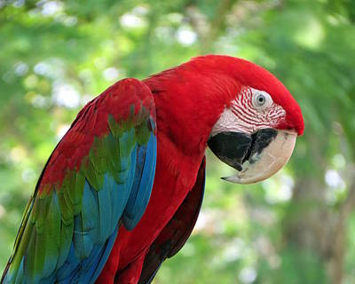 Photograph - Green Winged Macaw by Ramona Johnston