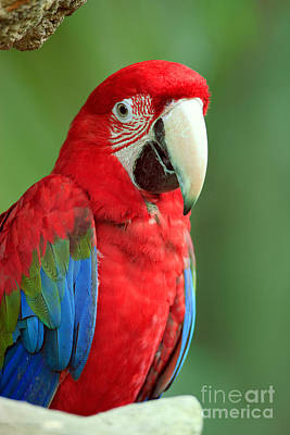 Red Blue And Green Birds Photograph - Green-winged Macaw by Sohns/Okapia