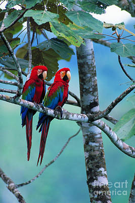 Amazon River Photograph - Green-winged Macaws by Art Wolfe