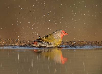 Green-winged Pytilia Bathing Art Print