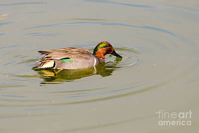 Green-winged Teal At Feeding Time Art Print