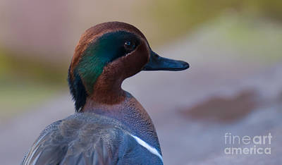 Photograph - Green Winged Teal by Bianca Nadeau