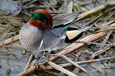 Art Print featuring the photograph Green-winged Teal by Debra Martz