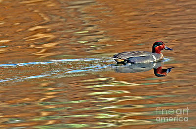 Photograph - Green-winged Teal by Elizabeth Winter