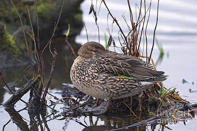 Photograph - Green-winged Teal Hen by Sharon Talson