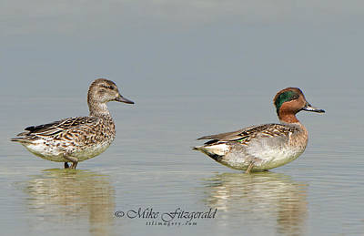 Photograph - Green-winged Teal Pair by Mike Fitzgerald