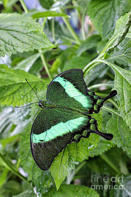 Photograph - Green Wings 2 by Shari Nees